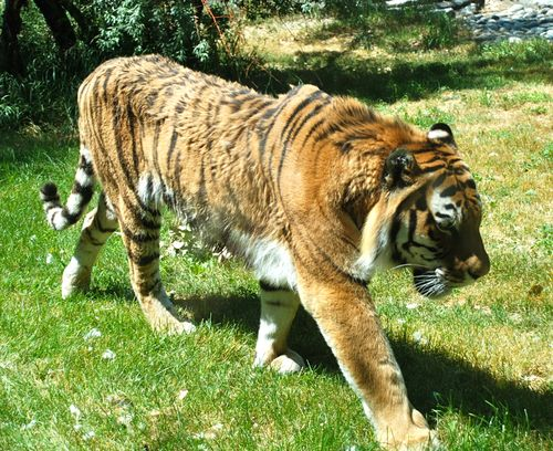 Tiger that has just lost its mate